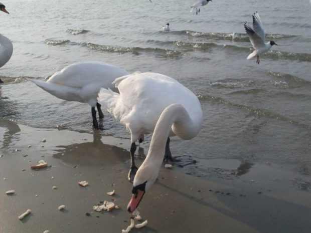 Хлеб для лебедей не надо давать