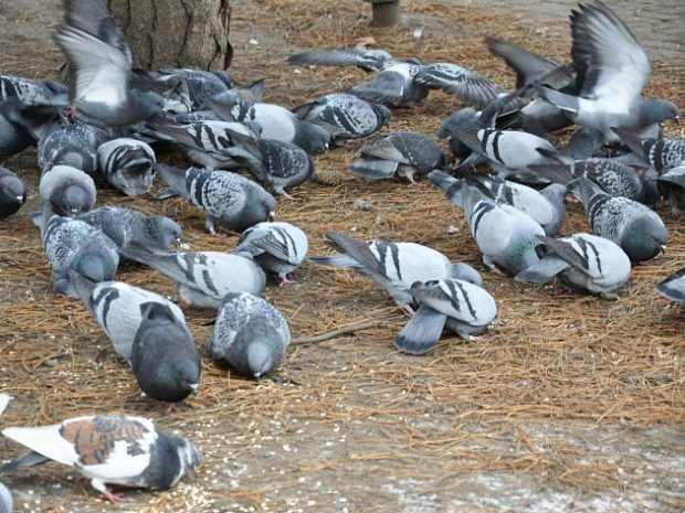 Голуби в городе кормятся отходами человека