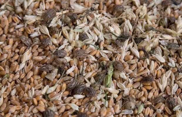 Примеси и насекомые в пшенице