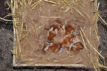 Помет новозеладских кроликов в гнезде