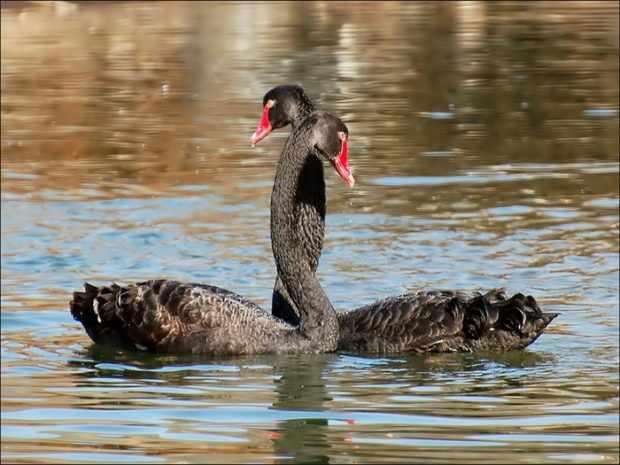Пара - черные лебеди