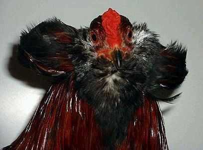 Борода у арауканов