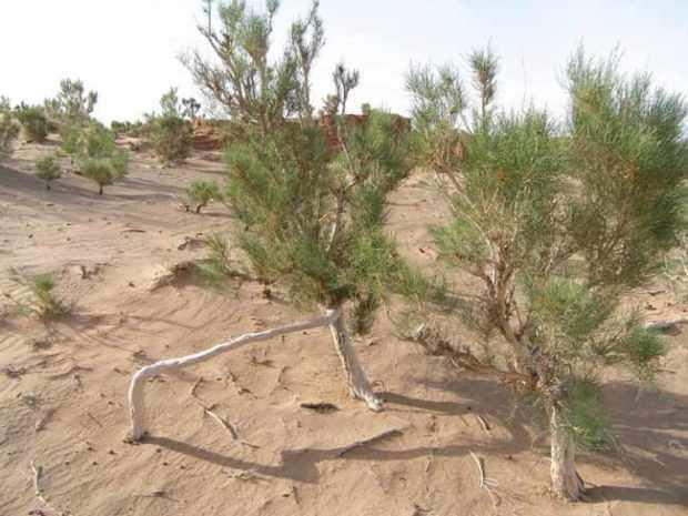 Саксаул - пустынное дерево