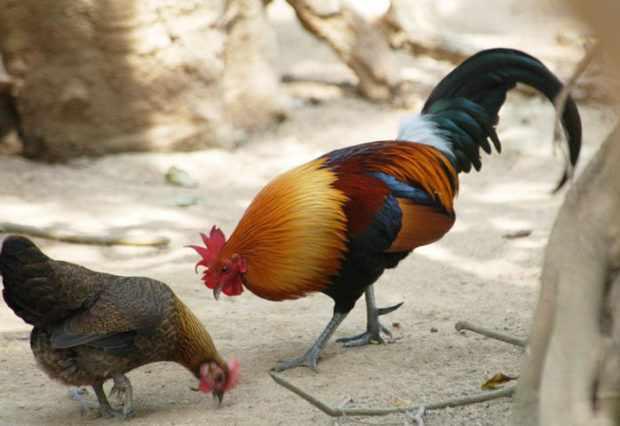 Каталонская порода - петух