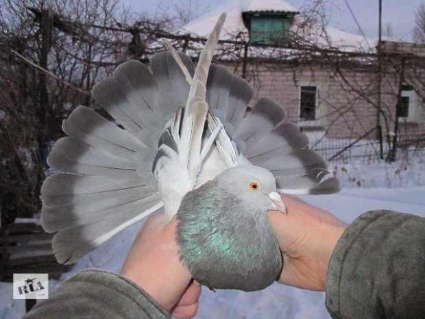 Торцовый пепельно-перламутровый николаеский голубь