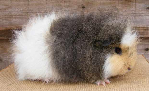 Свинка породы альпака