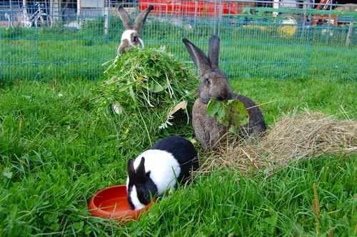 Летний выгул кролей