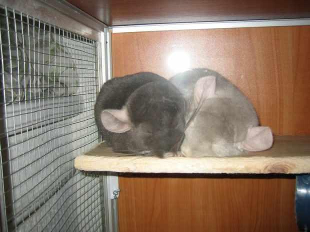 Шиншиллы спать ночью можно приучить