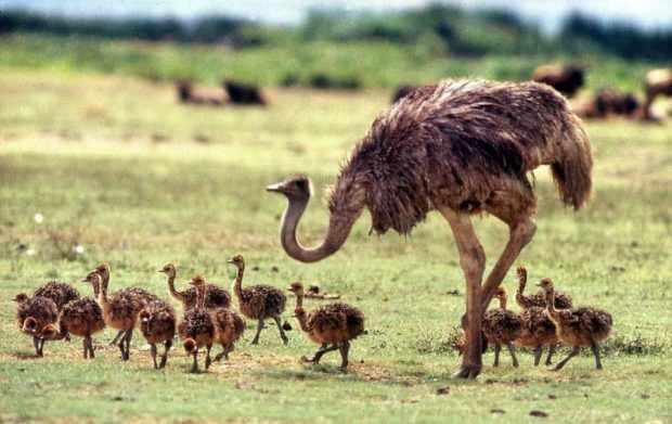 Африканский вид с птенцами