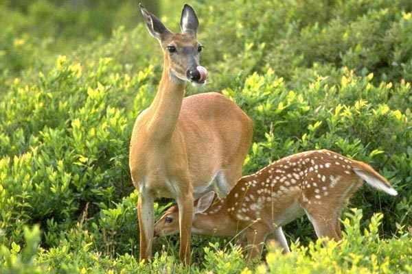 Самка пятнистого оленя с олененком