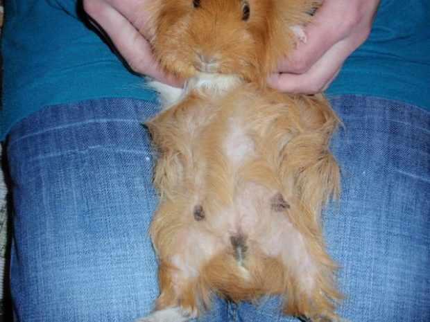 Выпадение шерсти у свинки после родов