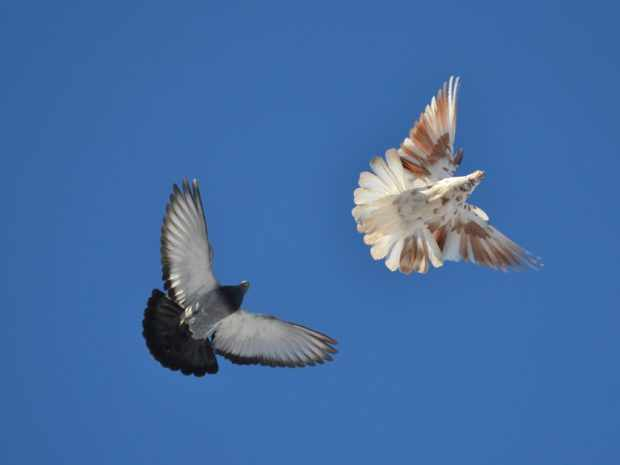 Торцовые николаевские голуби