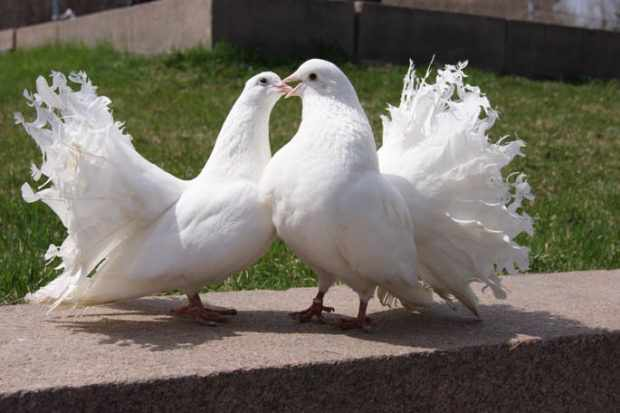 Курчавые голуби красивы на фото