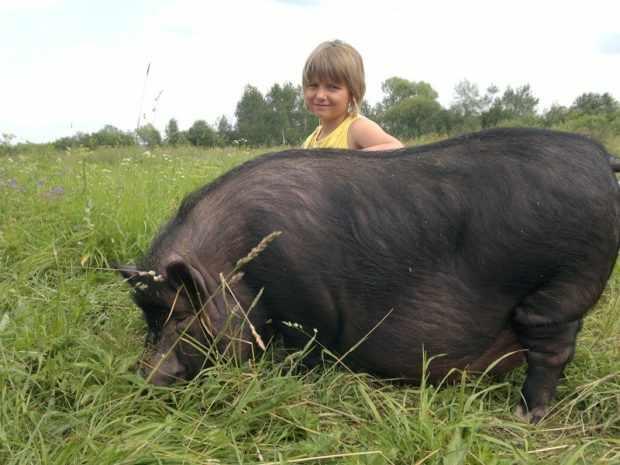 Вьетнамская свинья питается в основном травой