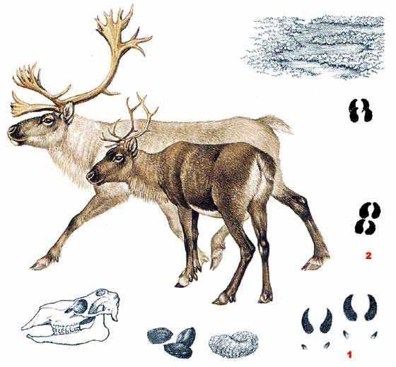 Строение оленей и следы