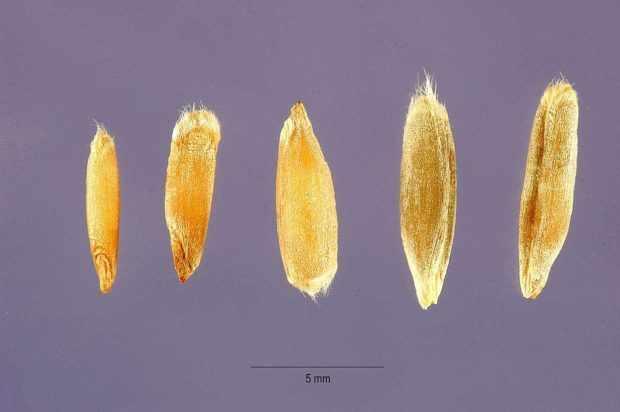 Зерновка ржи