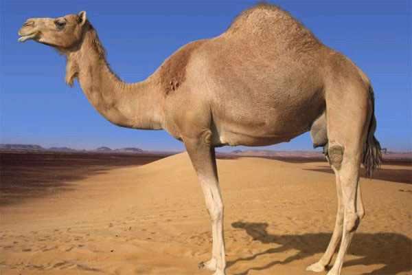 Африканский верблюд имеет один горб