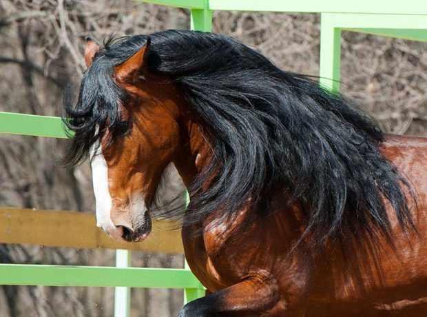 Голова коня владимирской породы