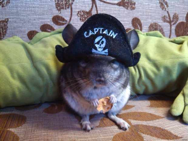 Шиншилла по кличке Пират