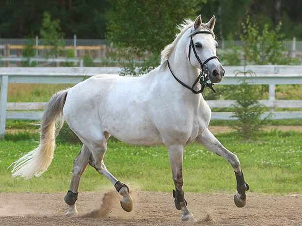 Терская порода коней
