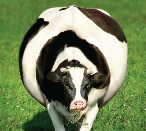Тимпания рубца у коровы