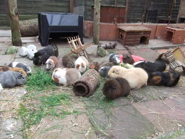 Окрасы свинок тедди