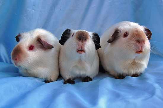 Гималайские свинки - дорогостоящая порода