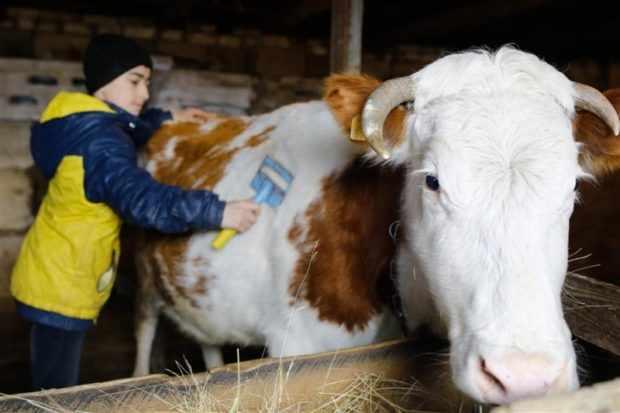 Уход за коровой повышает удои