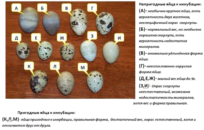 Выбор яиц для инкубации