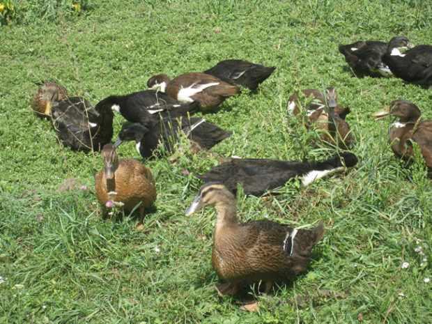 Утки на пастбище требуют меньше кормов