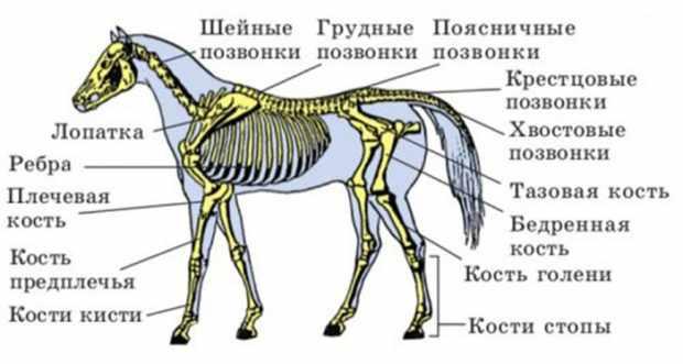 Скелет лошади с названием основных частей