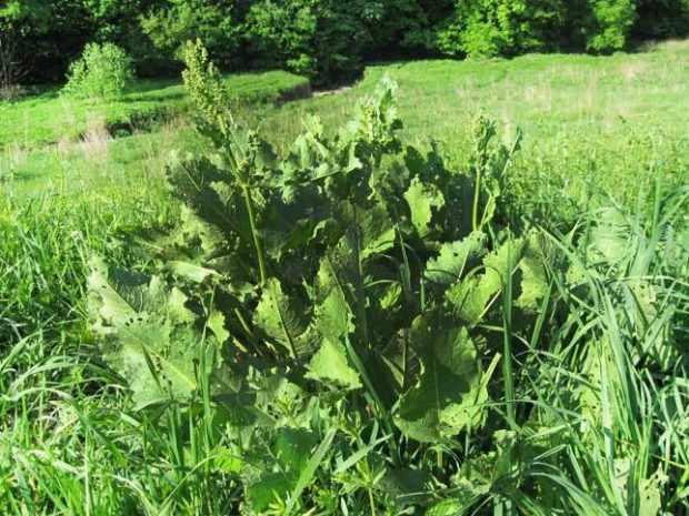 Конский щавель - ядовитое растение
