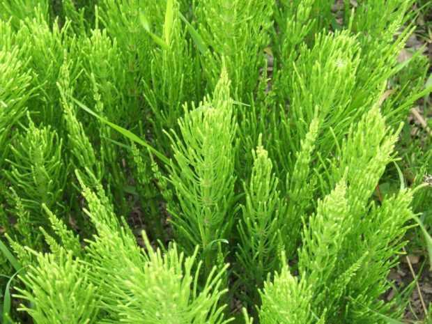 Хвощ - ядовитое растение для животных