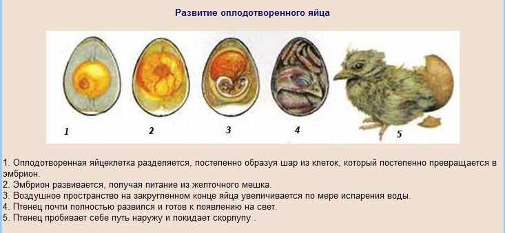 Развитие эмбриона