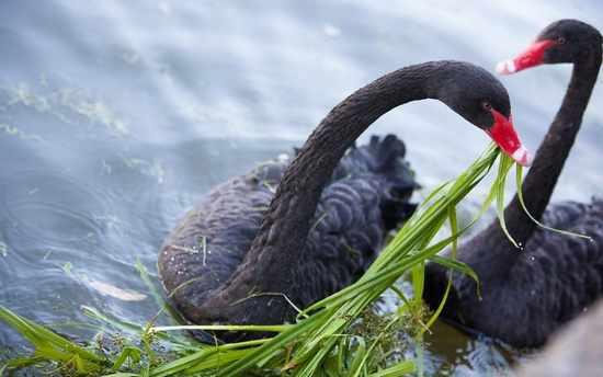Рацион черного лебедя состоит из травы