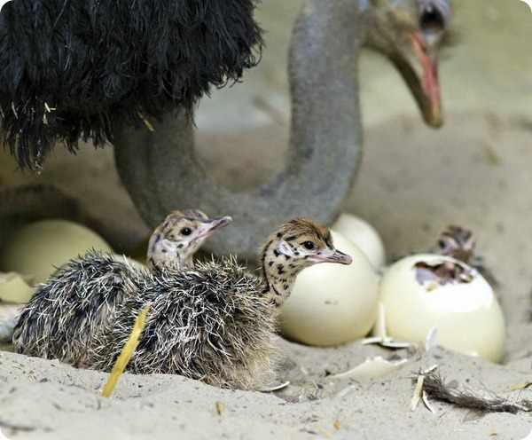 Вылупливание страусят а гнезде