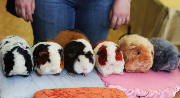 Свинки тедди на выставке