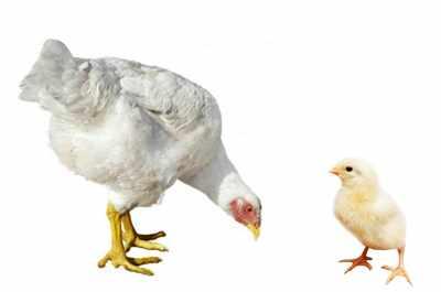 Курица и цыпленок кросс росс 308