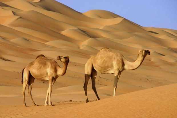 Дикие дромадеры в пустыне