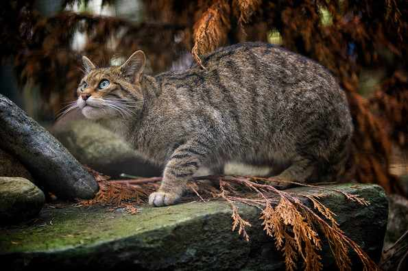 Дикие коты - враги ондатр