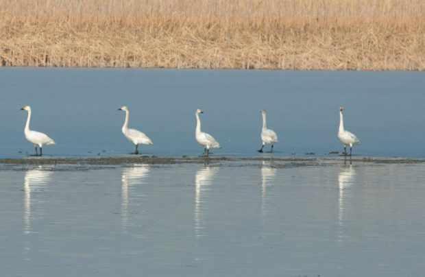 Тундровые лебеди на Каспии