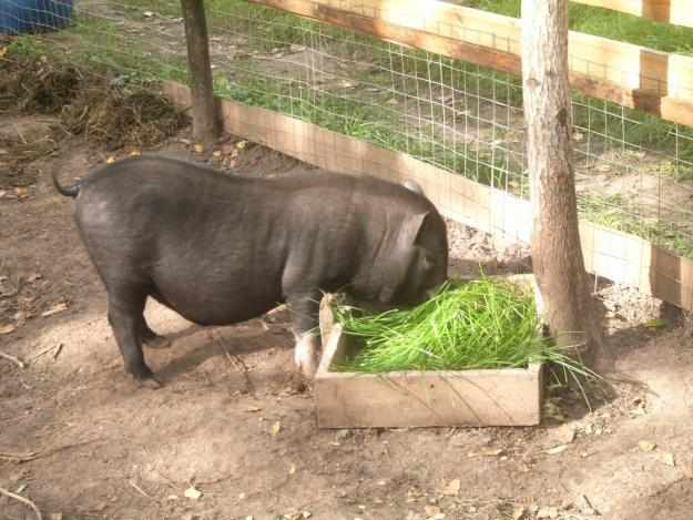 Вольер для вьетнамской свиньи