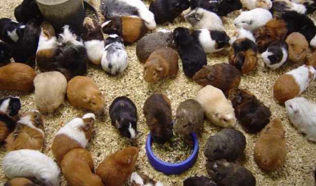 Разведение свинок с учетом генетики