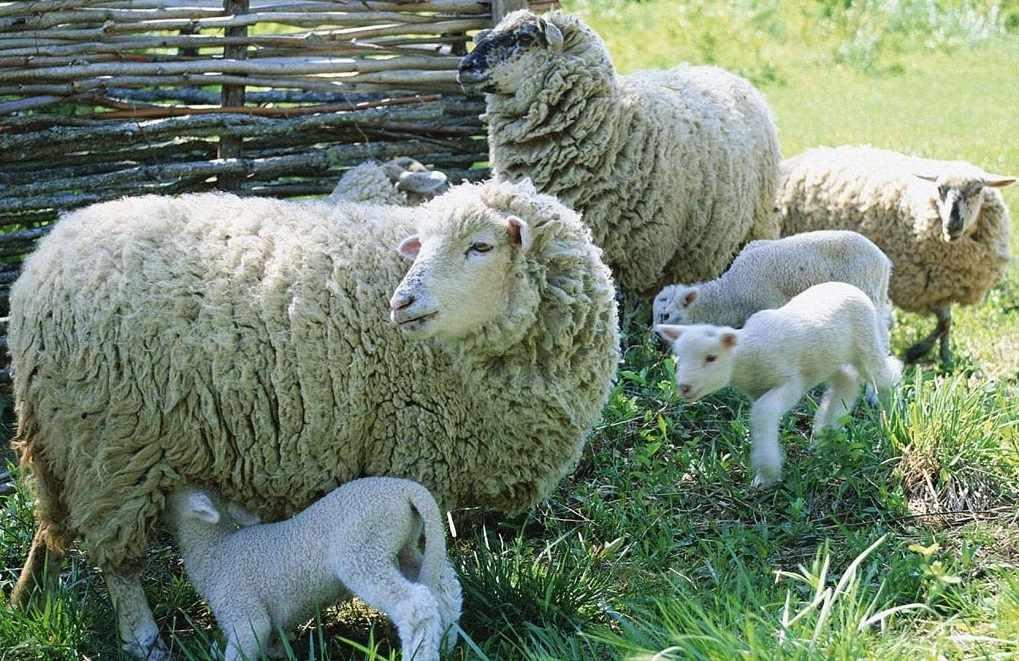 Овцематки с ягнятами