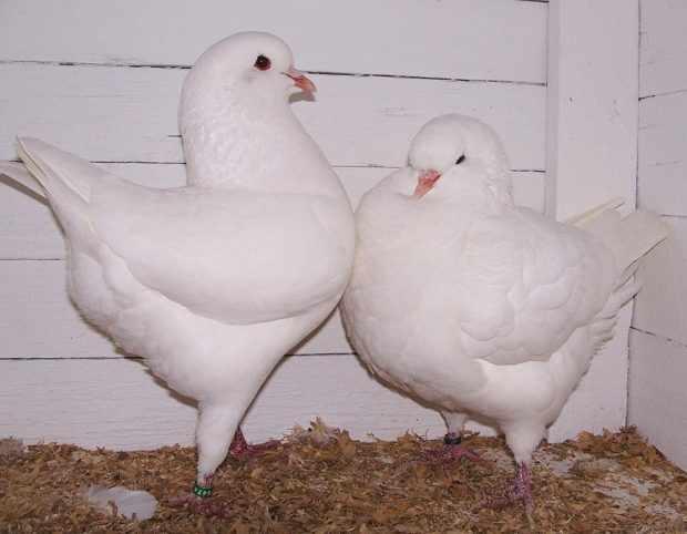 Мясная порода голубей Кинг