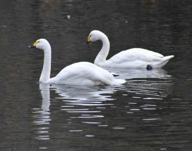 Малые лебеди плывут