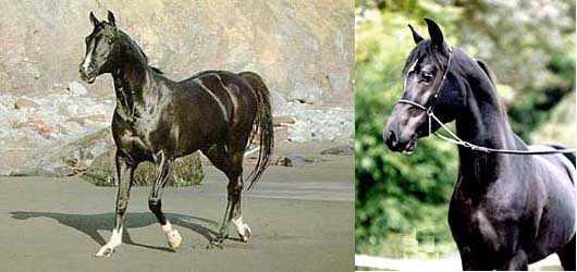 Муаровая масть бывает у арабских лошадей