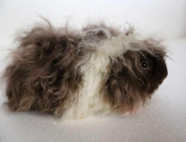 Порода альпака - молодая свинка