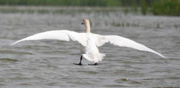 Посадка на воду лебедя