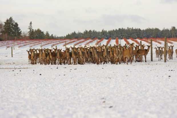 Зимнее содержание оленей не требует помещений